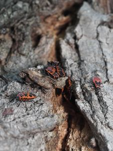 Free Milkweed Bug Colony On A Tree Stock Photo - 991350