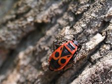 Free Milkweed Bug On A Tree Bark 03 Stock Photography - 991352