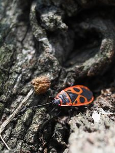 Free Milkweed Bug On A Tree Bark 04 Stock Photos - 991363