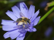Free Bee Showered By Flower Juice. Stock Image - 991381