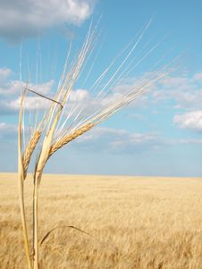 Free Wheat01 Royalty Free Stock Photography - 991637