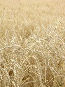 Free Wheat02 Stock Photography - 991642