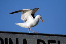 Free Seagull Takeoff Stock Photo - 991700