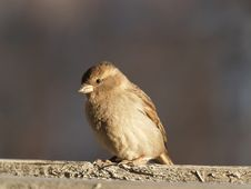 Free Young Sparrow At Sunset Royalty Free Stock Image - 992046