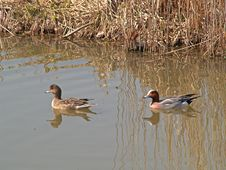 A Couple Of Ducks Royalty Free Stock Photos