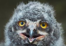 Free Baby Owl Royalty Free Stock Photo - 992245