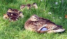 Free Duck`s Family 2 Stock Photo - 992480