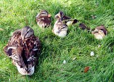 Free Duck`s Family 3 Royalty Free Stock Photos - 992558