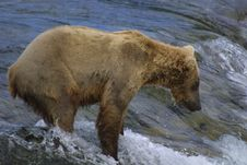 Free Little Brown Bear Fishing Royalty Free Stock Photo - 992935