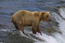Free Young Bear Fishing Royalty Free Stock Photos - 992938