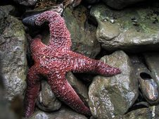 Free Sea Star Stock Photo - 993080