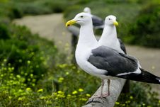 Free Seagulls Stock Images - 993504