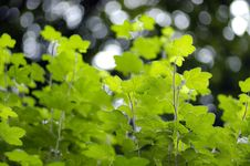 Free Leaf Canopy Royalty Free Stock Images - 993539