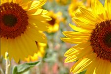 Free Sunflowers Royalty Free Stock Photo - 993755