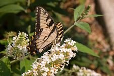 Beautiful Swallowtail Butterfly Stock Images