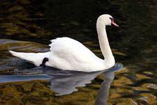 Free Swan Profile Swimming Royalty Free Stock Image - 994206