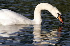 Free Swan Profile Swimming Stock Photos - 994213
