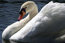 Free Swan Profile Swimming Royalty Free Stock Photo - 994215