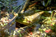 Free Bullfrog In The Water. Stock Images - 994394