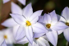 Free Blue Star Flowers Stock Image - 994631