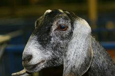 Free Goat Stock Photo - 994710