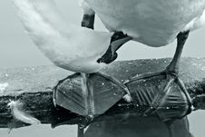 Swan Cleans Feathers Royalty Free Stock Photo