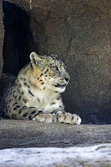 Snow Leopard (Uncia Uncia) Royalty Free Stock Photos