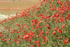 Free Poppies Royalty Free Stock Photo - 996165