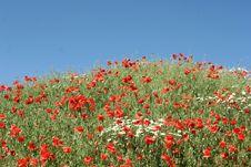 Free Poppies Royalty Free Stock Photos - 996168