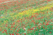 Free Poppies Stock Photo - 996310
