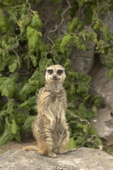 Free Meerkat On Sentry Duty Royalty Free Stock Photo - 996355