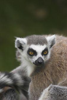Free Ring-Tailed Lemur Stock Photo - 996460