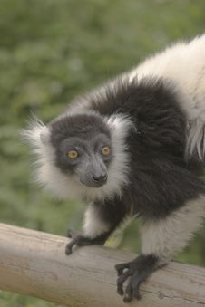 Free Black & White Ruffed Lemur Royalty Free Stock Photo - 996465