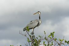 Free Great Blue Heron Royalty Free Stock Photo - 996755