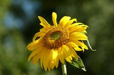 Free Sunflower Stock Photography - 996892