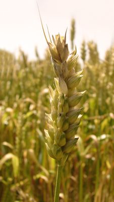 Free Wheat Field Royalty Free Stock Photo - 996985