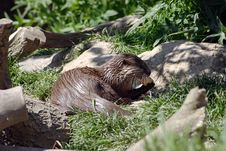 Free Feeding Otter Stock Images - 998004