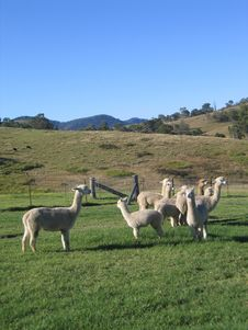 Free Alpacas In Paddock Royalty Free Stock Photos - 998398