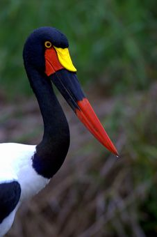 Saddle-bill Stork Stock Photos