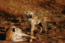 Free Hyena Cub With Mother Royalty Free Stock Photos - 998758