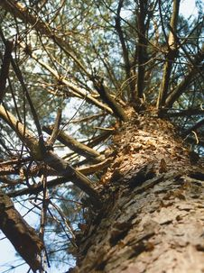 Free Pine Royalty Free Stock Photography - 999027