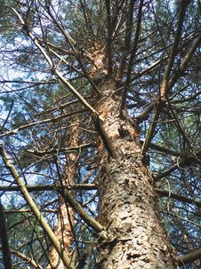 Free Pine Stock Photo - 999110