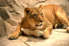 Free Lion Stock Photography - 999122
