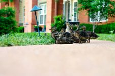 Free Duck Family Stock Images - 999204