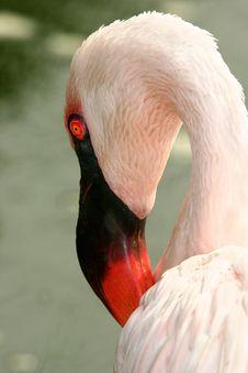 Free Flamingo Stock Photo - 999270
