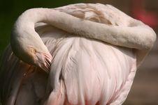 Free Flamingo Stock Photos - 999273
