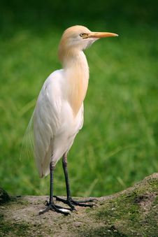 Free Small Egret Stock Photography - 999302