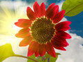 Free Flower A Sunflower Decorative Stock Photo - 9905230