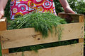 Free A Girl With New Dill Crop In A Wooden Box Royalty Free Stock Photo - 9909025