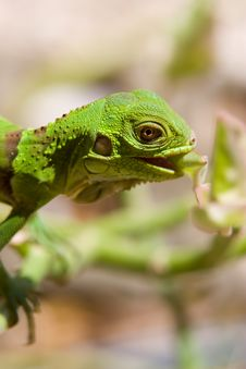 Free Baby Iguana Eating Royalty Free Stock Photos - 9900238
